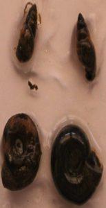 Snail2 154x300 - Namna bora ya kupamabana na maambukizi ya minyoo bapa (Trematodes) kwa mifugo