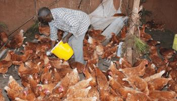 Feeding layers chickens - KUKU CHOTARA NA TABIA ZAKE