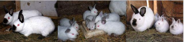 Californian white Rabbits - UFUGAJI WA SUNGURA