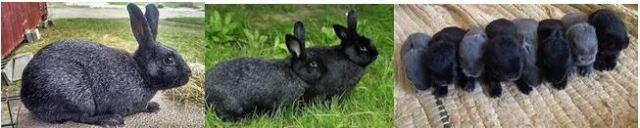 Silver Foxex Rabbits - UFUGAJI WA SUNGURA