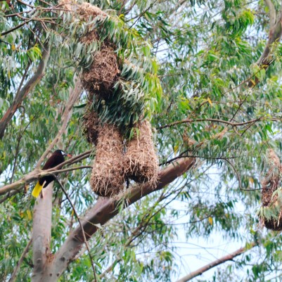 The montezuma oropendola perches next to its tear-drop-shaped nests.