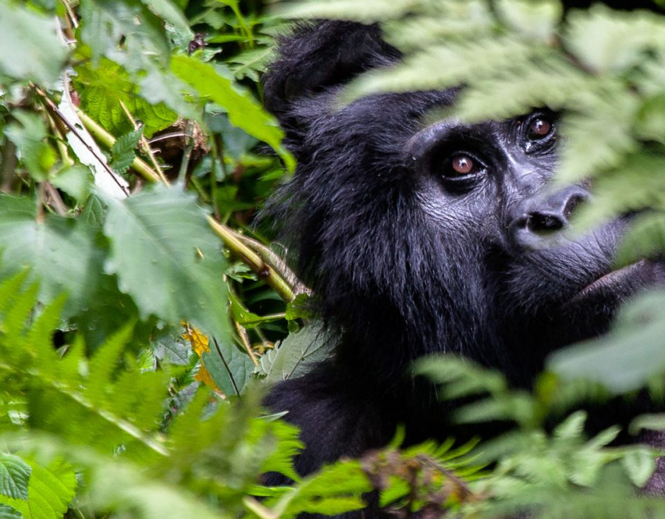 Gorilla tracking tour in Uganda