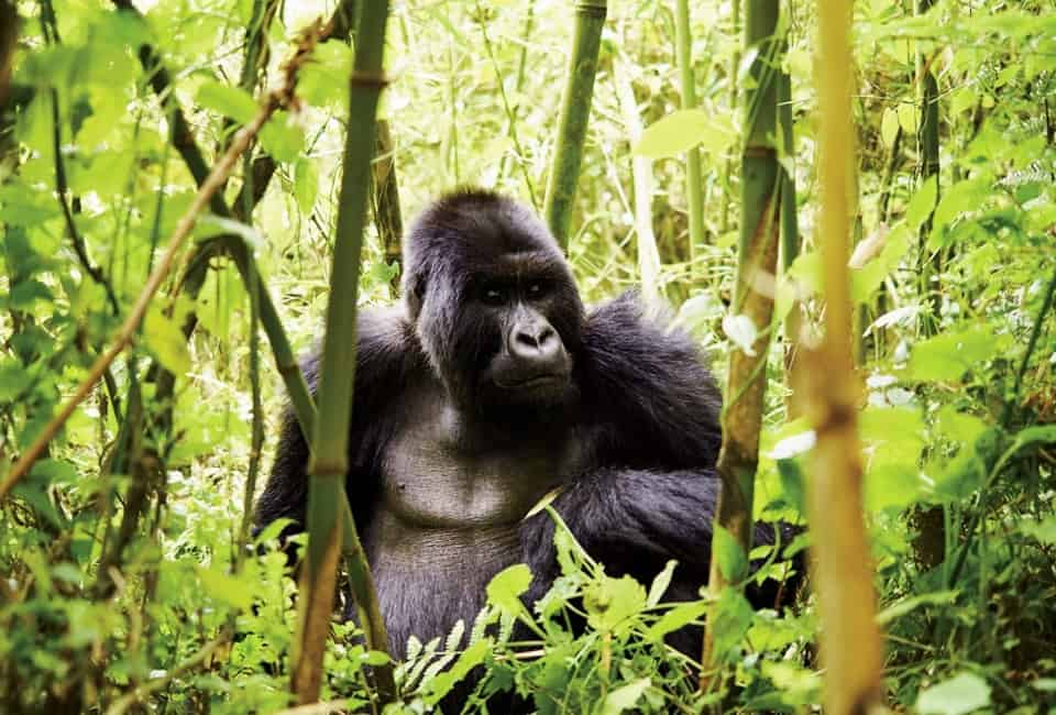 Hot facts you must know about Mountain Gorillas - Uganda Safaris