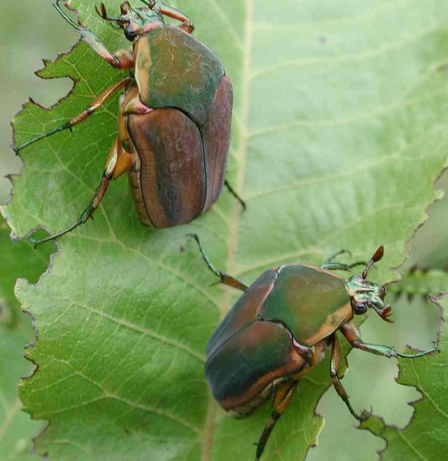 Green June Beetles