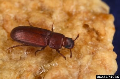 Adult red flour beetle