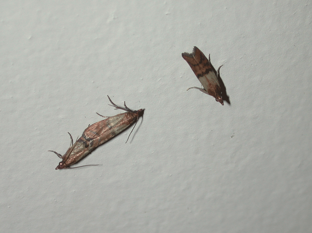 the indianmeal moth approximately 12 inch long is the most common stored