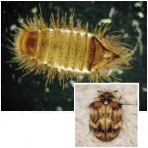 Carpet beetle from pub