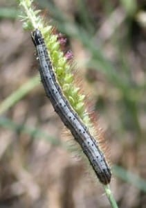 Fall Armyworms in Turf