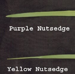 Leaf tips of Yellow and Purple Nutsedge. Notice the differences in leaf tips. Purple Nutsedge has a keel shape, and yellow nutsedge is pinched. Mark Czarnota