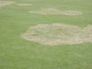 Large patch disease - Alfredo Martinez, UGA