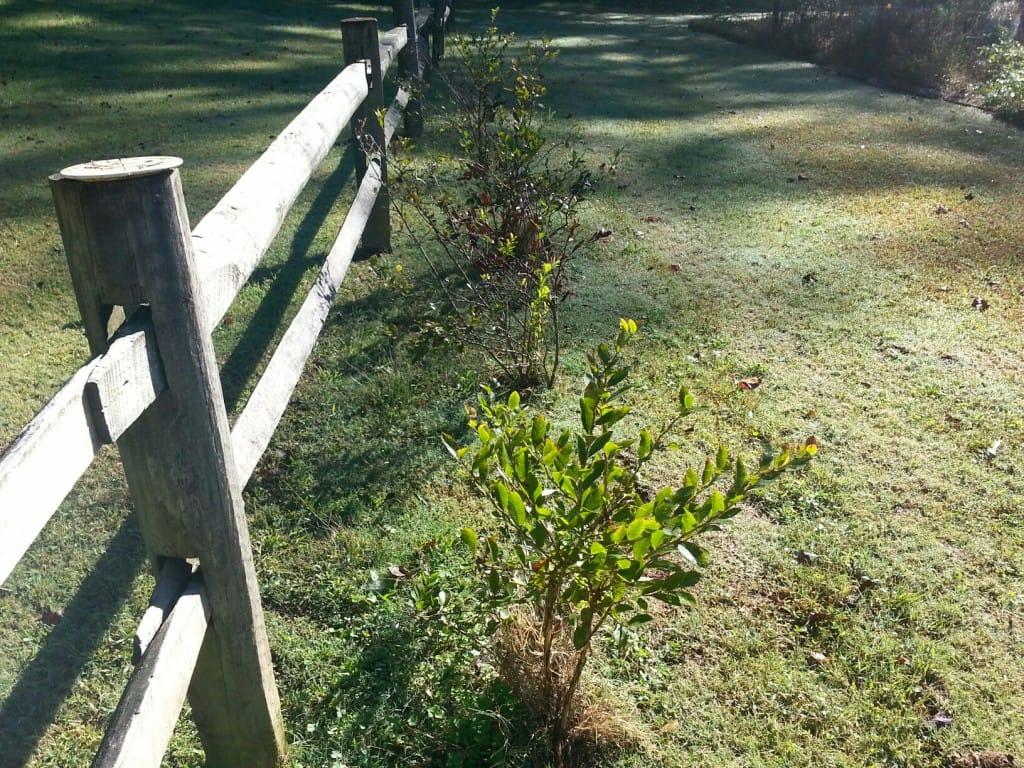 Planting Blueberries In The Georgia Garden