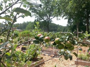 An apple tree in the Green Meadows Preserve Community Garden.