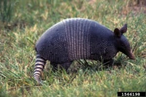 Nine-banded Armadillo, Alfred Viola, Northeastern University, Bugwood.org