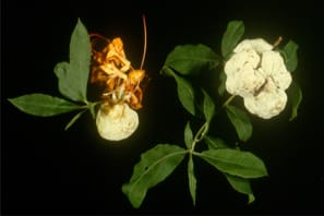Leaf galls - What is this strange fleshy growth on azalea leaves?