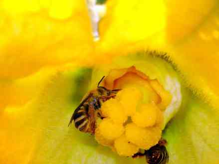 Squash bees