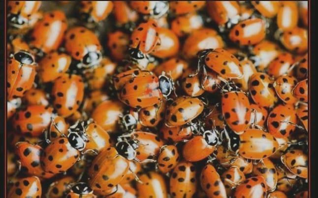 ladybugposter_0001_0001
