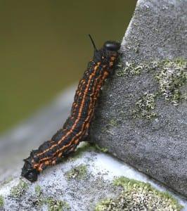 oakworm