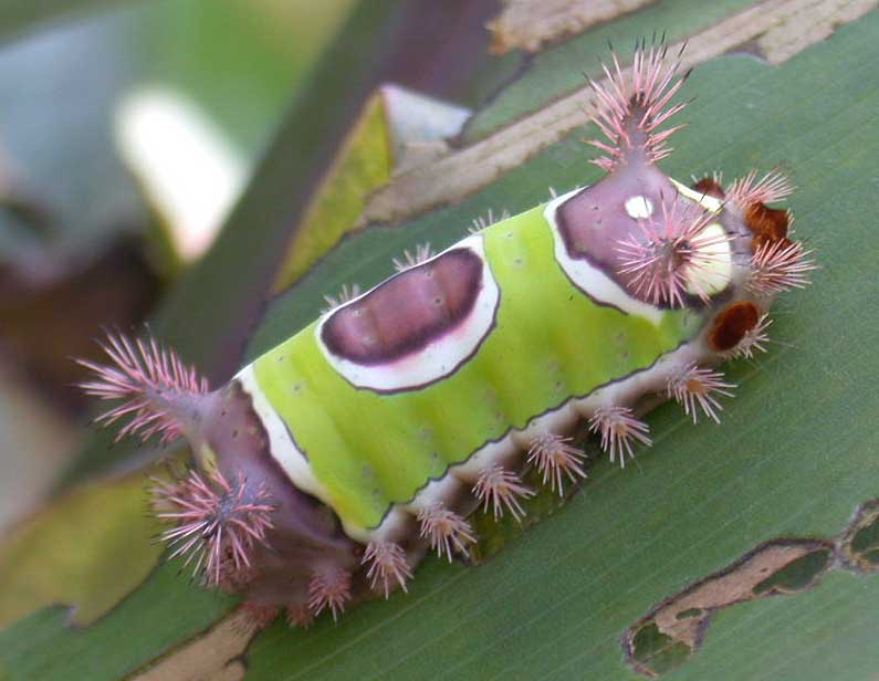 Saddleback Caterpillars: Watch Out for that Sting
