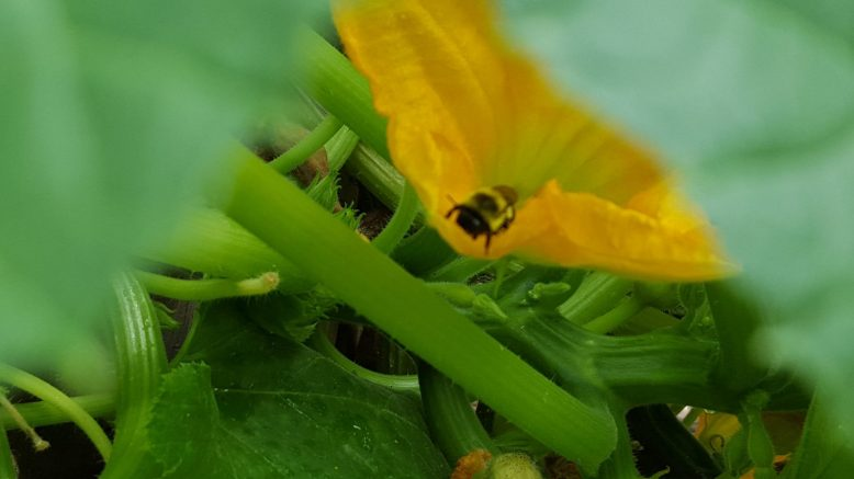 Bee in Squash Flower