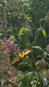 Budleia with Swallowtail, Rodents and Your Community or School Garden
