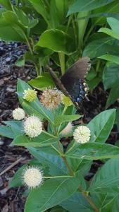 Button Bush (Cephalanthus occidentalis)