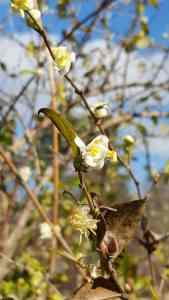 Winter Honeysuckle