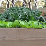 Spring Greens for your Georgia Garden