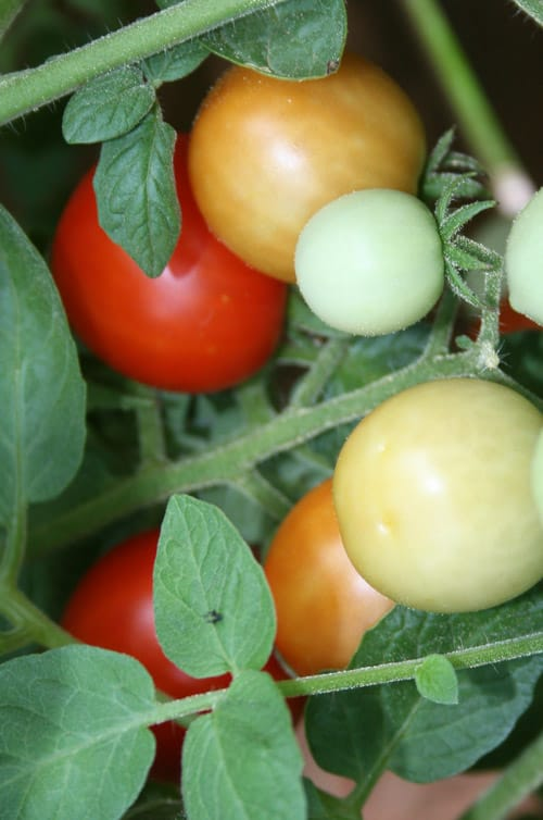 Add Organic Matter, Water Deeply for Healthy Tomato Plants-A