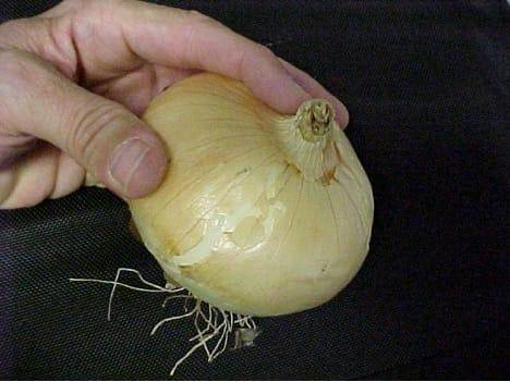Onion Willie