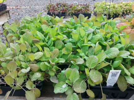 There is still time to plant lettuce and other cool-season greens.