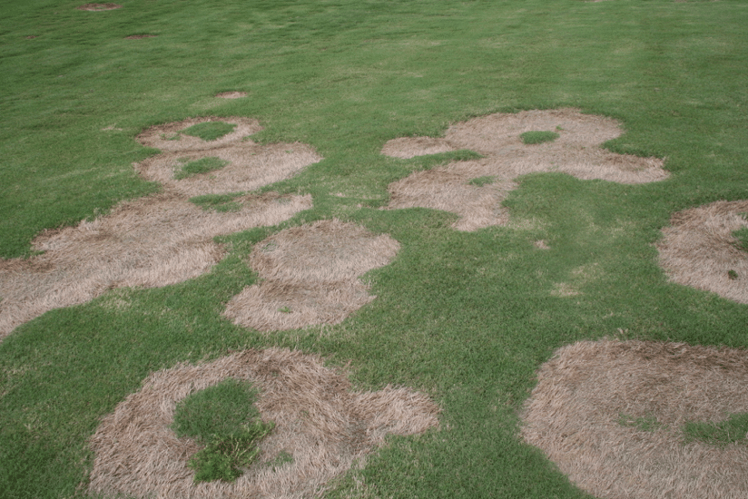 photo of turfgrass disease spring dead spot