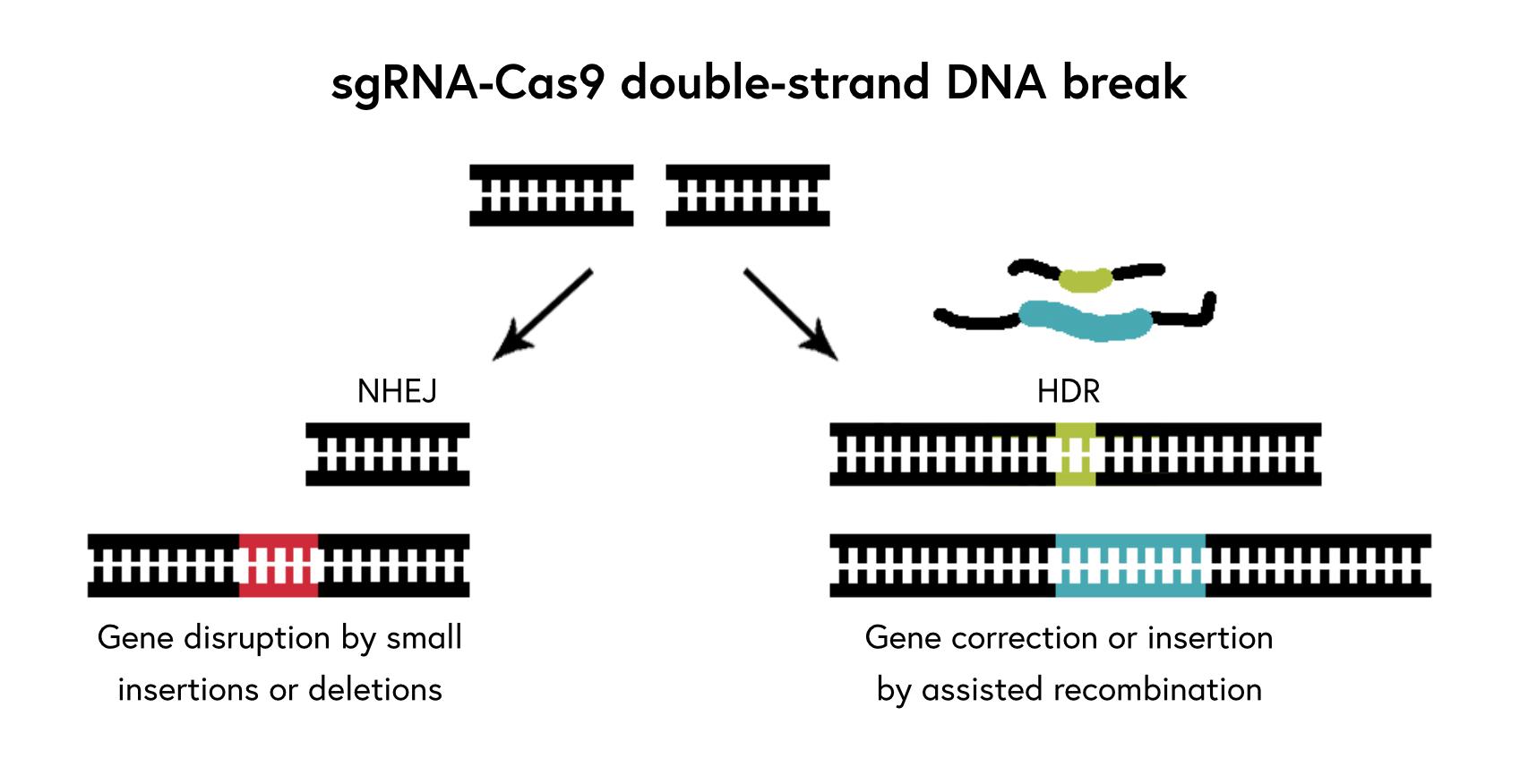 Crispr Cas9 And Genome Editing