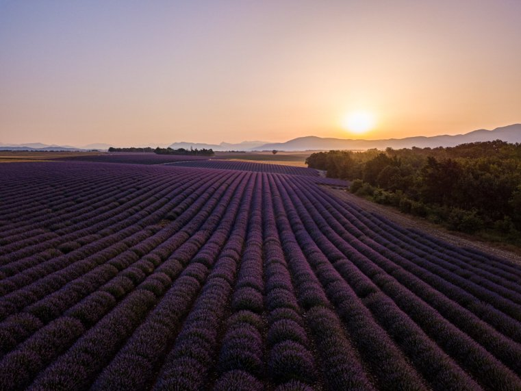 Lavender fields, Valensole Plateau, France