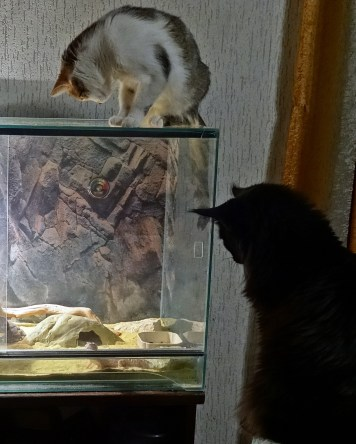 Dibi i Furia obserwują gekona