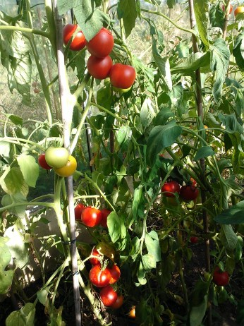 Rijpe tomaten