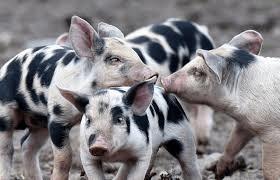 Varkens in de buitenlucht