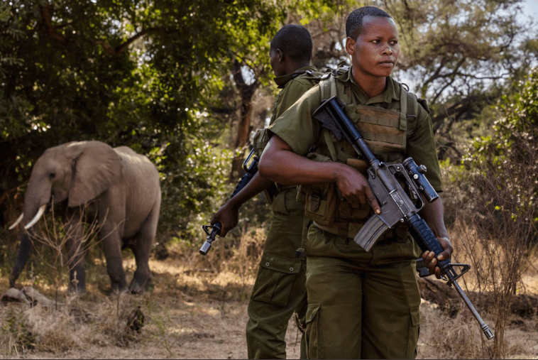 Wadzanai Munemo and another ranger encounter an elephant while patrolling conservation land that once was part of a trophy hunting area.