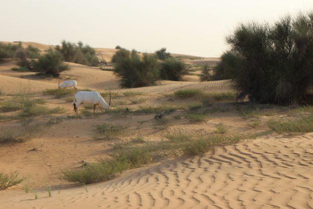 goat-in-dune