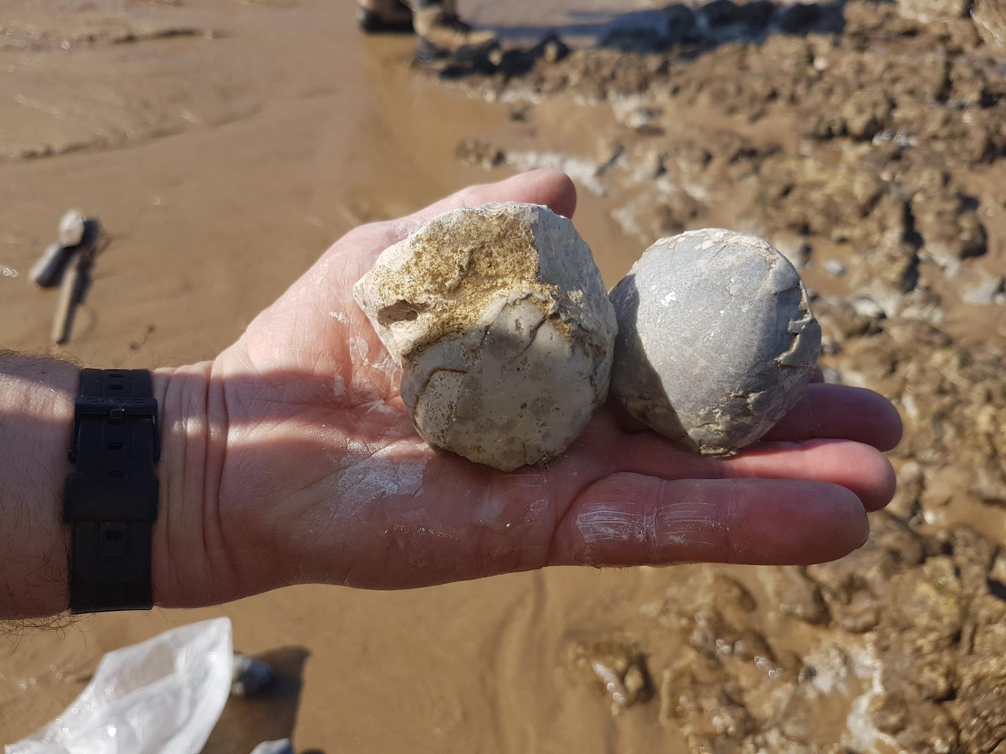 Two of many, many echinoids found by Chris Bite