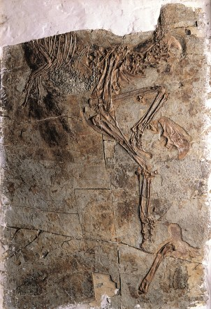 Caudipteryx holotype