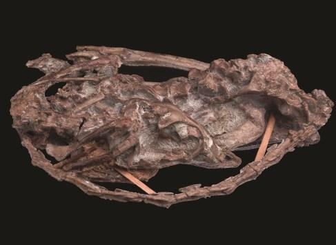 mei long skeleton on display at Dinosaurs of China « UKAFH