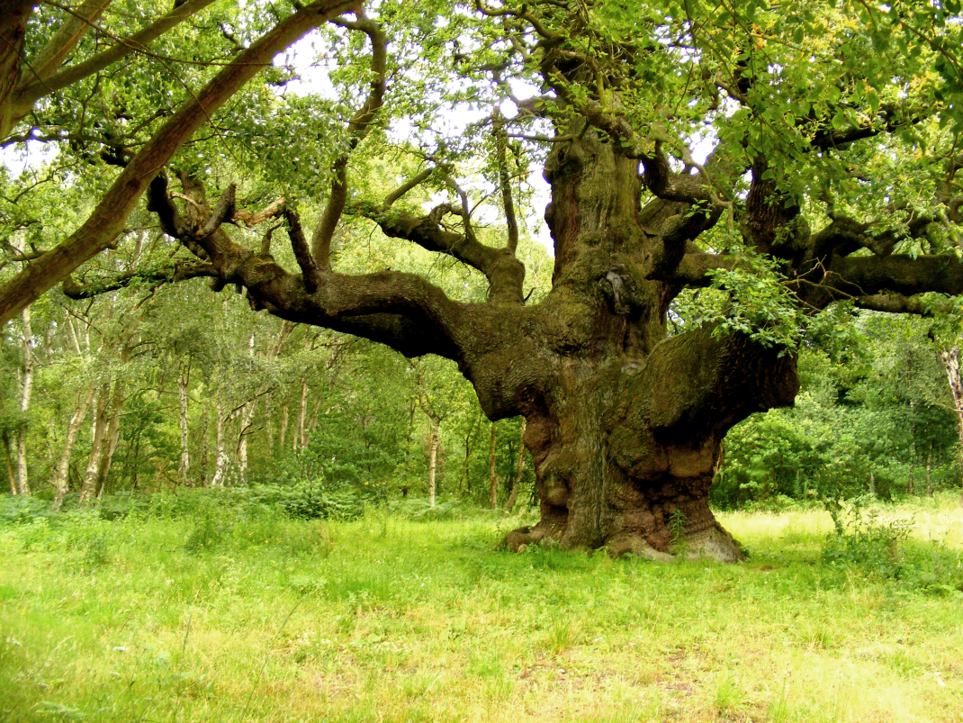 The beautiful ancient trees in Sherwood!