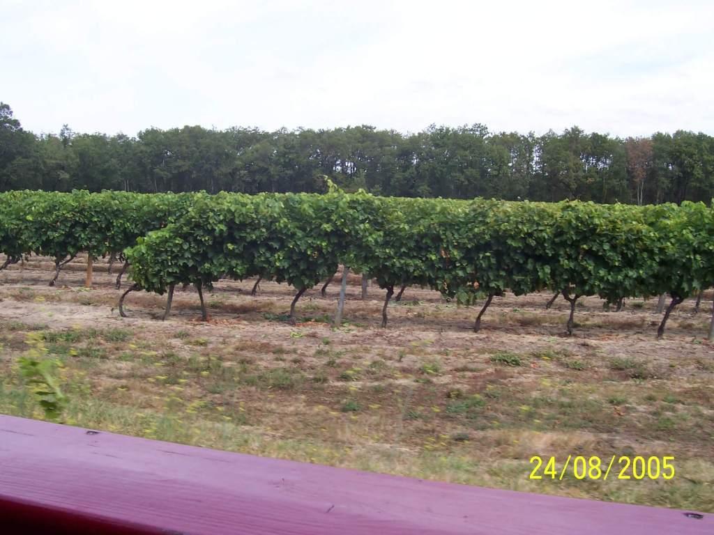 French vinyard