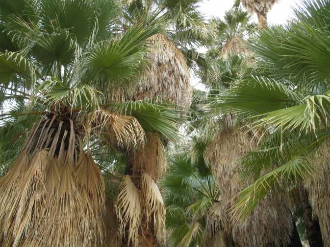 The oasis' palms offer lush a canopy from the desert sun.