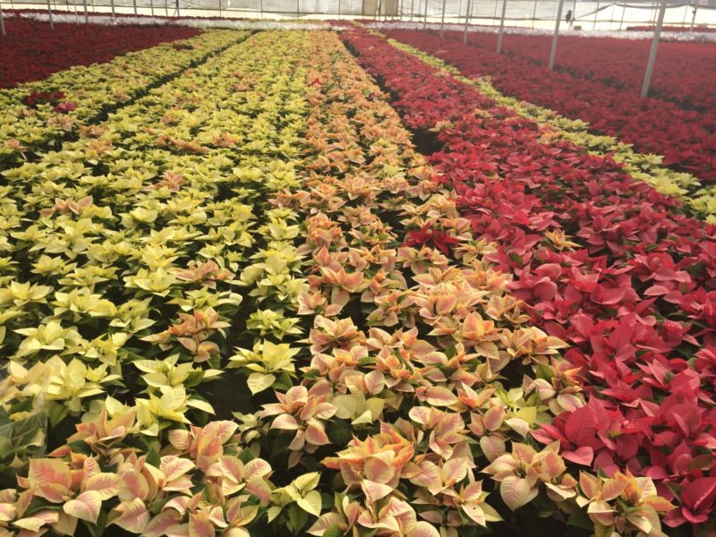 Two Million Poinsettias Grown in Riverside County