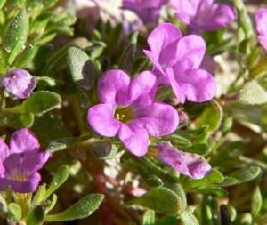 Discover wildflowers on Joshua Tree trail