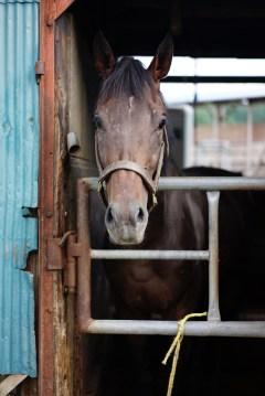 iwate horse