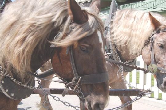 france horse