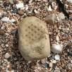 Plant fossil impression