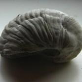 Gryphaea Arcuata